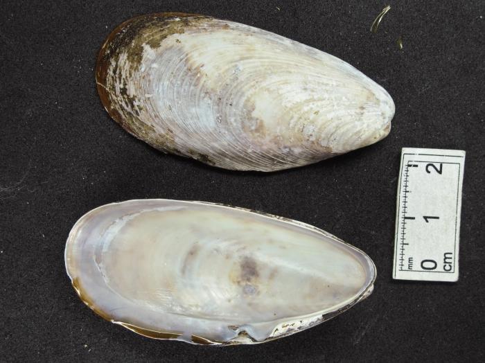 Modiolus modiolus  (horse mussel)