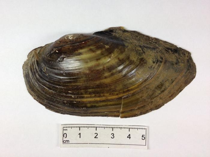 Anodonta cataracta - shell exterior