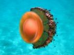 Scyphozoa (jelly fish)
