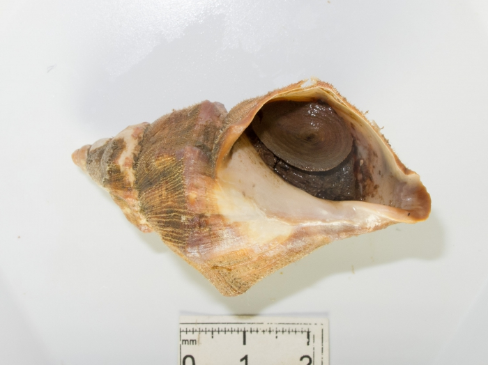 Buccinum angulosum