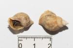Buccinum cyaneum - pair
