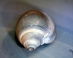 Fossiele Ringicula schelp