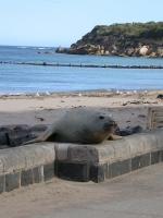 Zuidelijke zeeolifant - Mirounga leonina