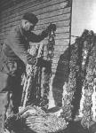 """Eind jaren 1950: Een arbeider van de kwekerij van """"Halewyck & Cie"""" in de Spuikom. Het onderschrift bij deze foto luidde: """"Voorzichtig worden de volwassen oesters van de aan land gebrachte stokken geplukt. Het betreft hier een nog jonge teelt, waar men nog heel wat ondervinding moet bij opdoen."""""""