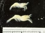 Eualus pusiolus, author: Fisheries and Oceans Canada, Claude Noz�res