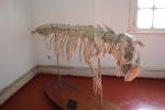 Skelet zeekoe