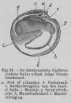 Eben (1884, figuur 24)