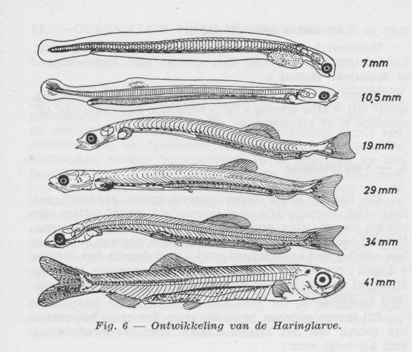 Gilis (1957, figuur 1.6)