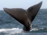 Right whale - Eubalaena glacialis