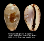 Purpuradusta gracilis