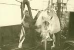 Jan De Voogt met rog (Sehaate) van 85 kg