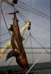 Apekalle (soort haai), opgehangen aan boord van de Z.321