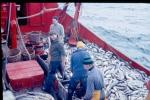 Vissers aan dek met vangst kabeljauwachtigen