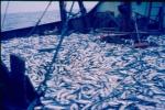 Dek met vangst kabeljauwachtigen