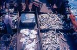 Visser bij vangst op het dek