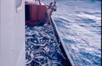 Dek met grote vangst haaien