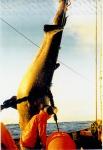 Vangst van grote vis