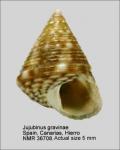 Jujubinus gravinae