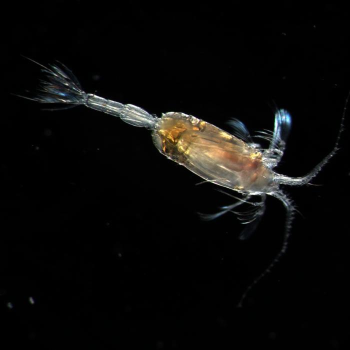 Scaphocalanus acrocephalus