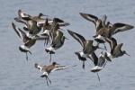 Black-tailed Godwit (Limosa limosa)