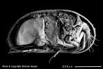 Cyprideis torosa (male), author: Keyser, Dietmar