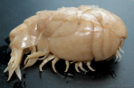 Stegocephalopsis ampulla, female