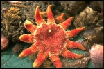 Common sun star - Crossaster papposus (Linnaeus, 1767), author: VLIZ (Jan Seys)