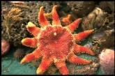 Common sun star - Crossaster papposus (Linnaeus, 1767), author: VLIZ (Jan Seys)
