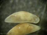 Macroscapha falcis
