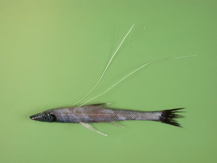 Bathypterois dubius