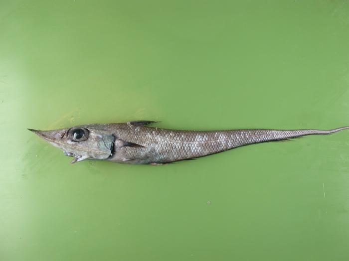 Caelorhinchus labiatus
