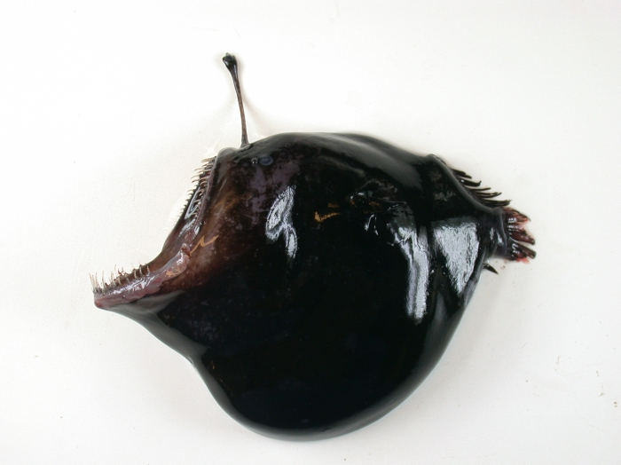 melanocetus johnsoni