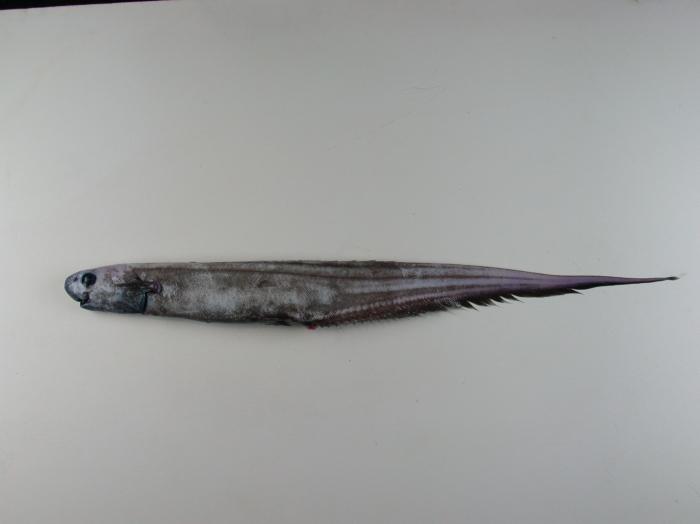 Notacanthus bonapartei