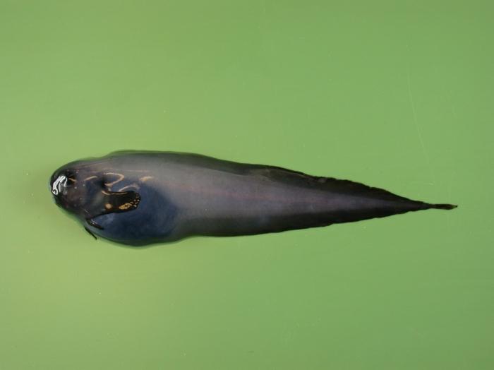 Paraliparis