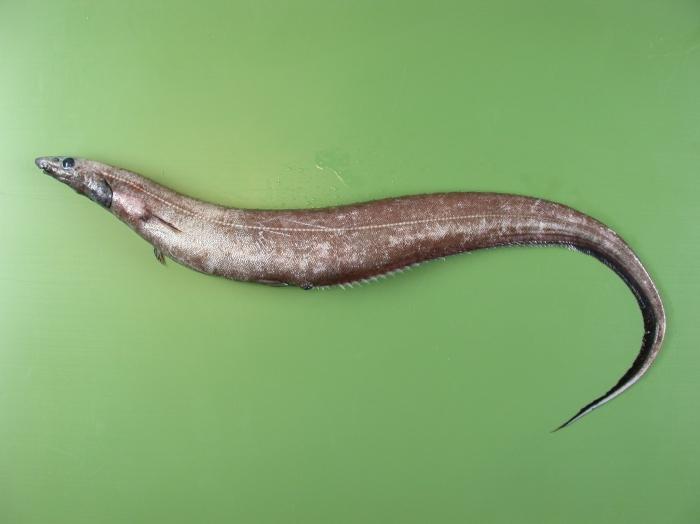 Polyacanthonotus rissoanus