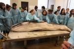 Veterinarian Marjan Doom (Museum of Morphology) attended the autopsy of the stranded minke whale