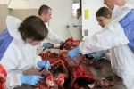 Further dissecting and deboning whale skeleton at the department of morphology