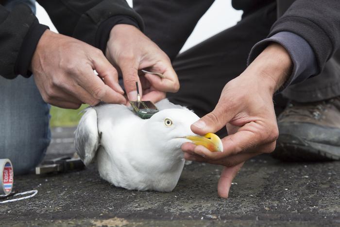 Tagged herring gull