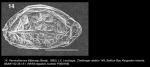 Lectotype of Cytherura lilljeborgi Brady, 1880 (taken from Dingle, 2003), author: Brandao, Simone Nunes