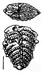 Bolivinella profolium Hayward HOLOTYPE, author: Hayward, Bruce