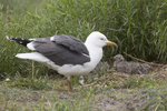 Seagull images
