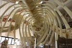 The skeleton of a stranded minke whale at the Morphology Museum