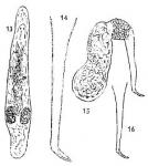 Macrostomum balticum