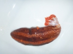 Orange-footed sea cucumber