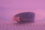 Een mossel in de hoogst geteste concentratie. De kleur van het water wordt veroorzaakt door de roze nanoplastics