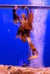 Egg cases Lesser spotted dogfish - Scyliorhinus canicula