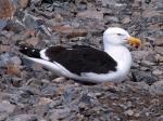 Kelp Gull (Larus dominicus)