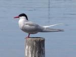 South American Tern (Sterna hirundinacea)