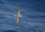 Soft-plumaged petrel (Pterodroma mollis)