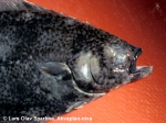Farmed Halibut